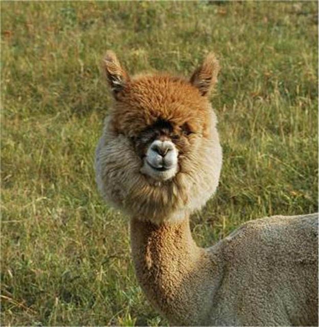 hilarious-alpaca-hairstyles-9
