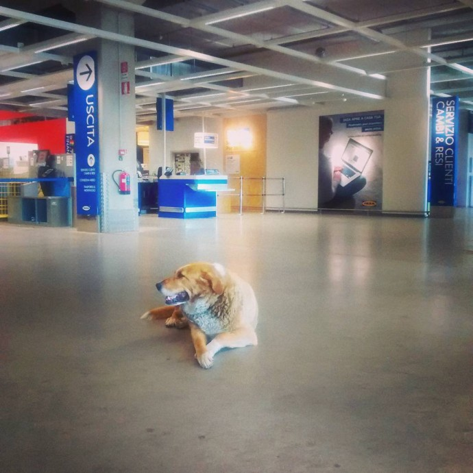Ikea Store In Italy Opens Its Doors To Homeless Dogs To Protect Them