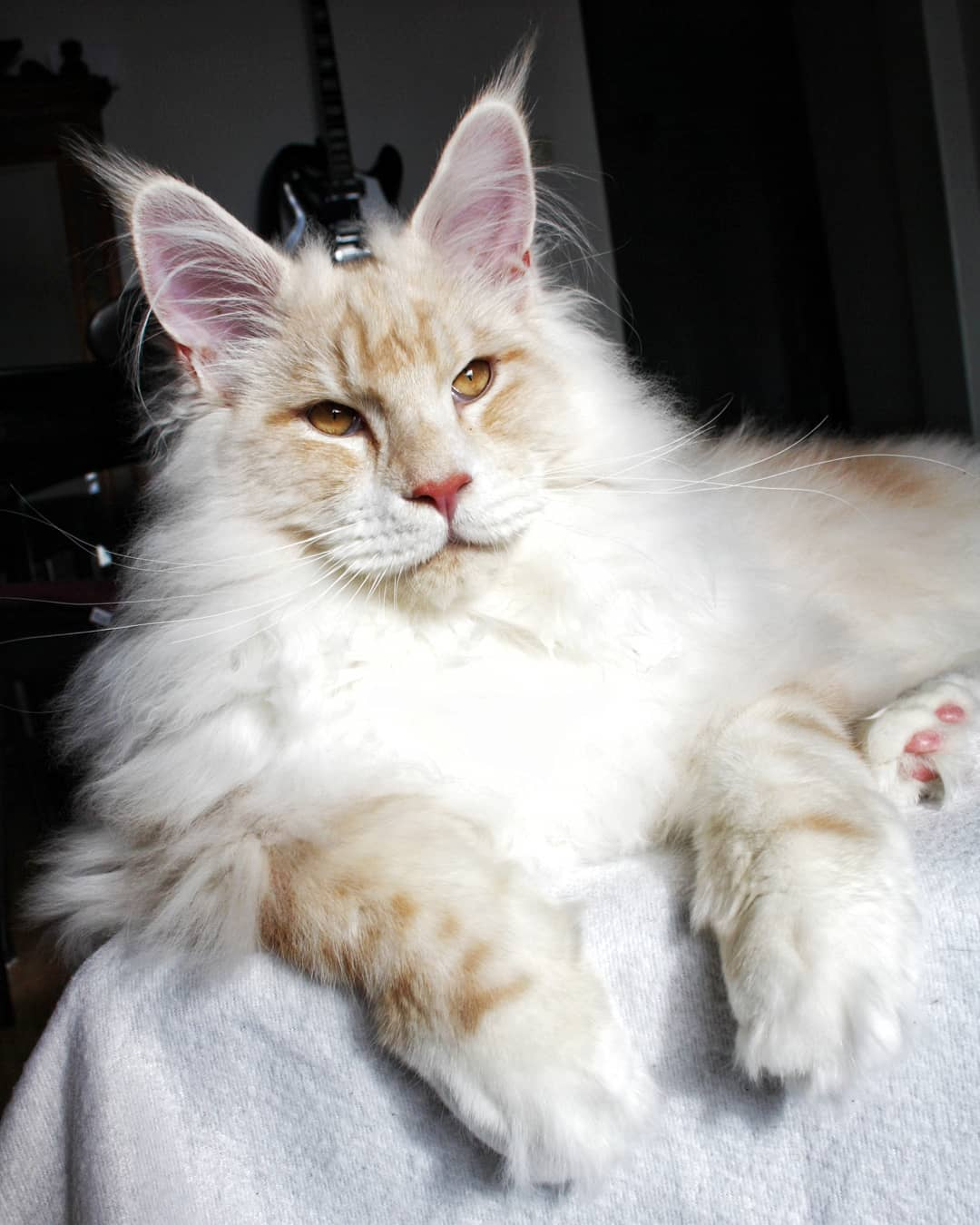 Meet Lotus The Huge Fluffy Maine Coon Cat That S Going
