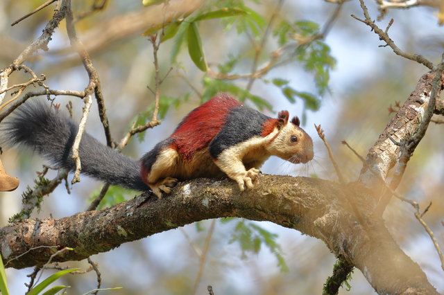 These Giant And Multicolored Squirrels Are Almost Too