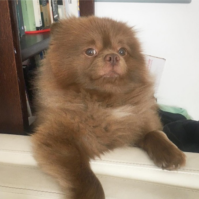 Meet Bertie The Chocolate Pomeranian Who Looks Just Like