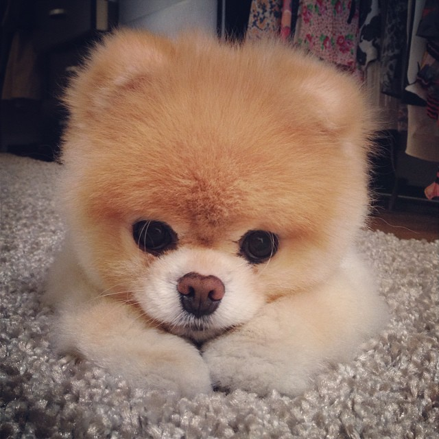 Boo The Pomeranian Known As The World S Cutest Dog