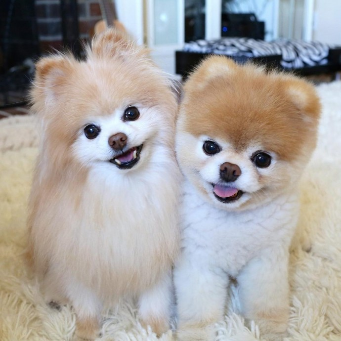 pomeranian boo dogs boo the pomeranian known as the world s cutest dog 1232