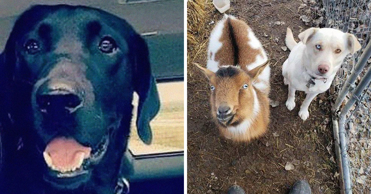 Missing Dog Returns Home With New Dog And Goat Friend
