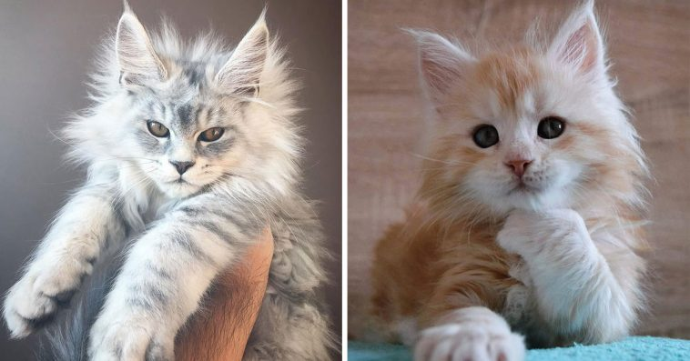 28 Tiny Maine Coon Kittens That Are Actually Giants In The Making