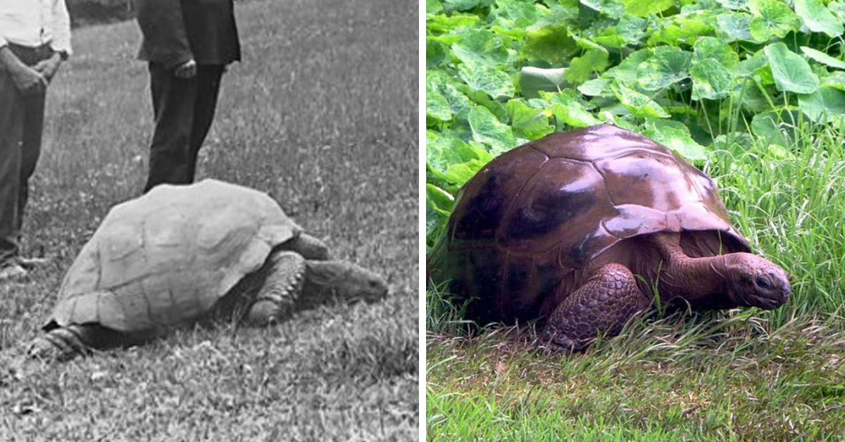 This Is Jonathan, The 187-Year-Old Tortoise Photographed In 1886 And Today