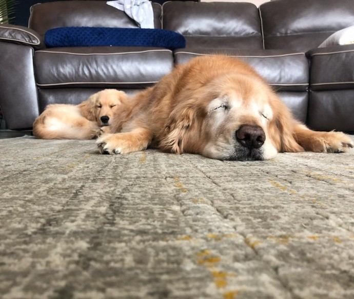 Blind Senior Golden Retriever Gets A New Puppy Friend And