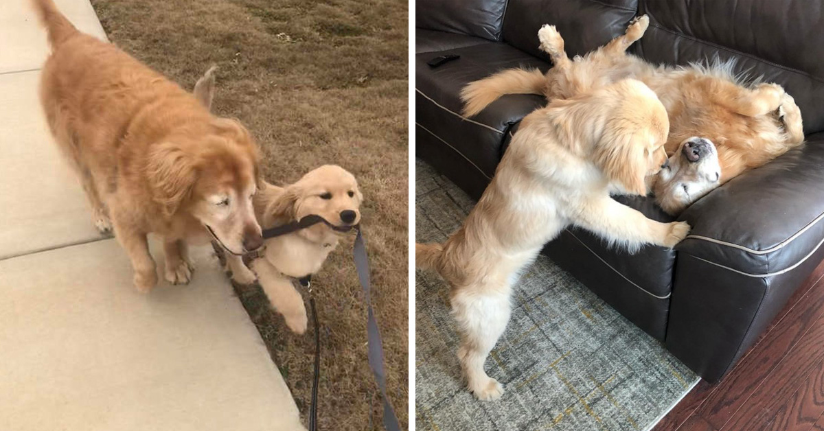"Blind Senior Golden Retriever Gets ""Seeing Eye Puppy"", And He Brightens Up His Life"