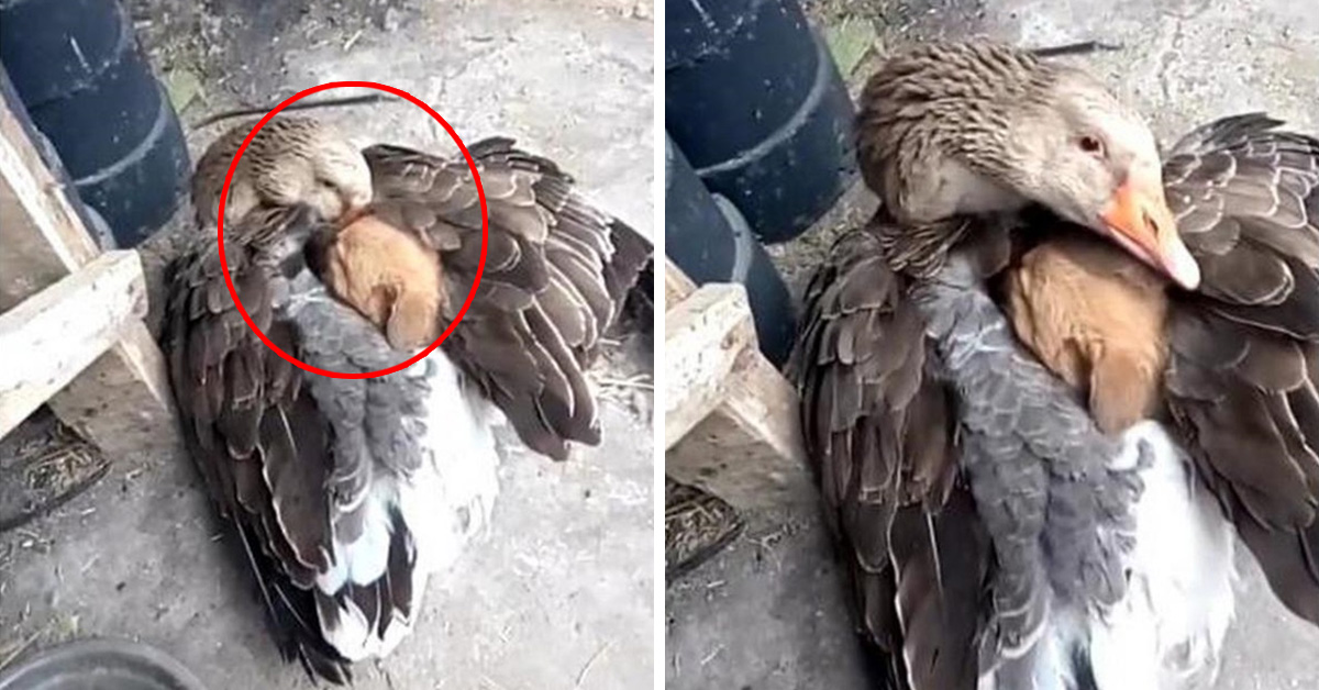 Goose Saves Stray Puppy From Freezing Weather By Warming Him Under Its Wings