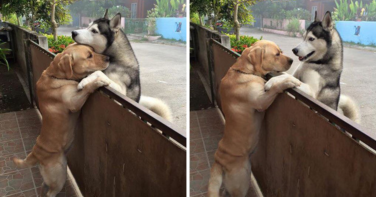 Lonely Husky Escapes From His Yard To Go Hug His Best Friend