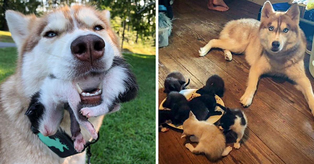 Husky Leads Owner Into The Woods And Brings Her To A Sealed Box Filled With Stray Kittens