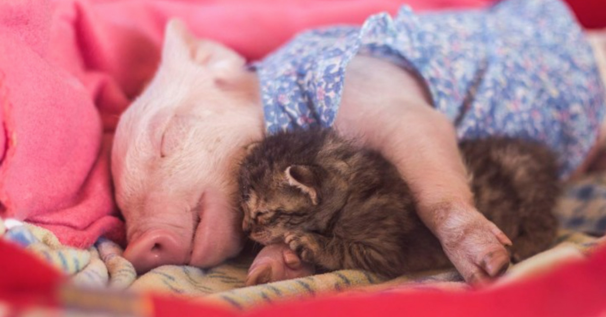 Rescue Piglet And Kitten Become Best Friends, And Their Photos Are Just Adorable