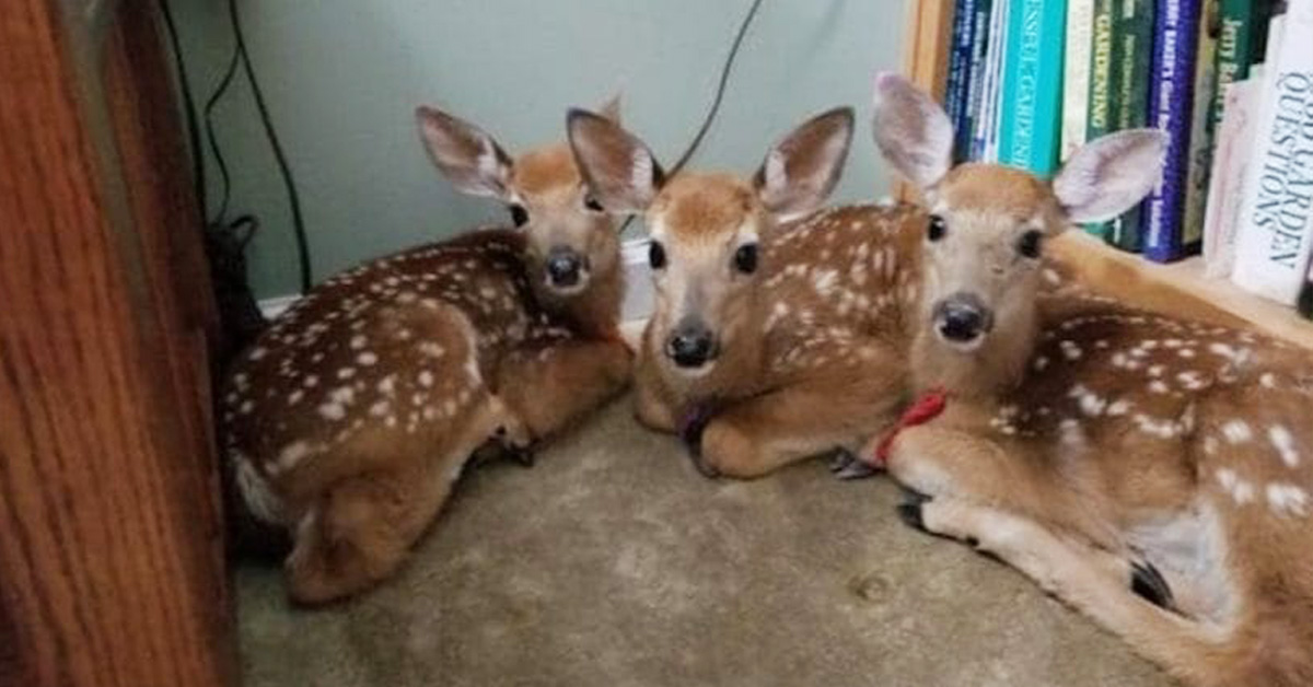 During Storm And Finds 3 Baby Deer In Her Living Room