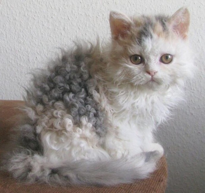 Curly Haired Cats Are Going Viral On Instagram  And Cat Lovers Can U0026 39 T Get Enough Of Them