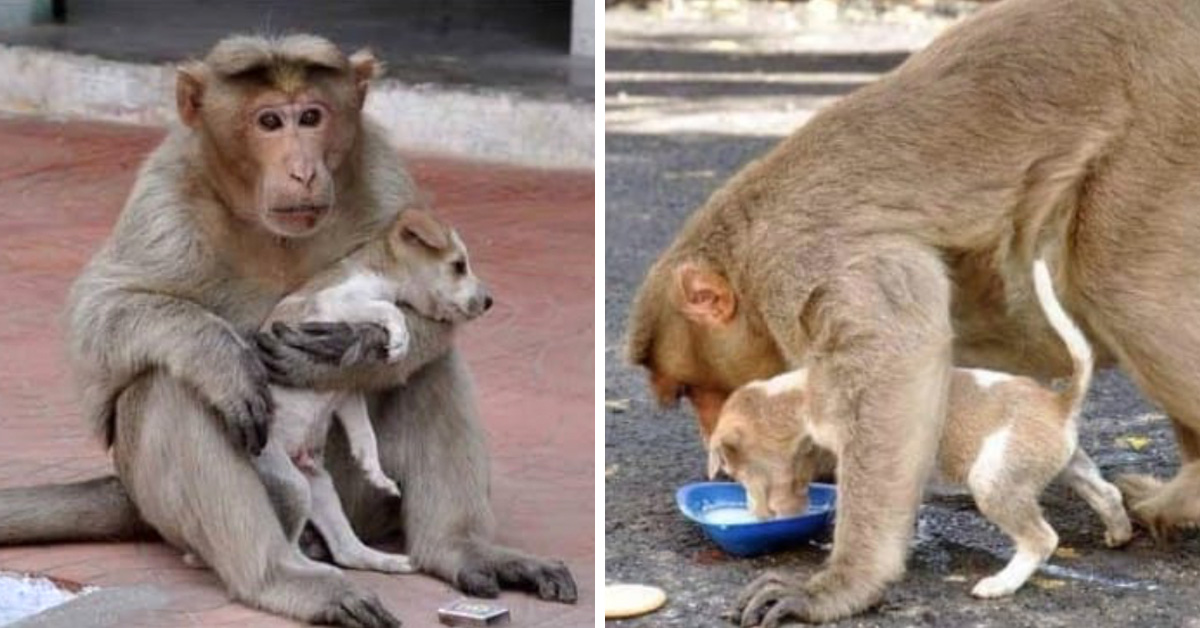 "Monkey Saves Tiny Puppy From Stray Dogs, ""Adopts"" Him, And Even Lets Him Eat First"