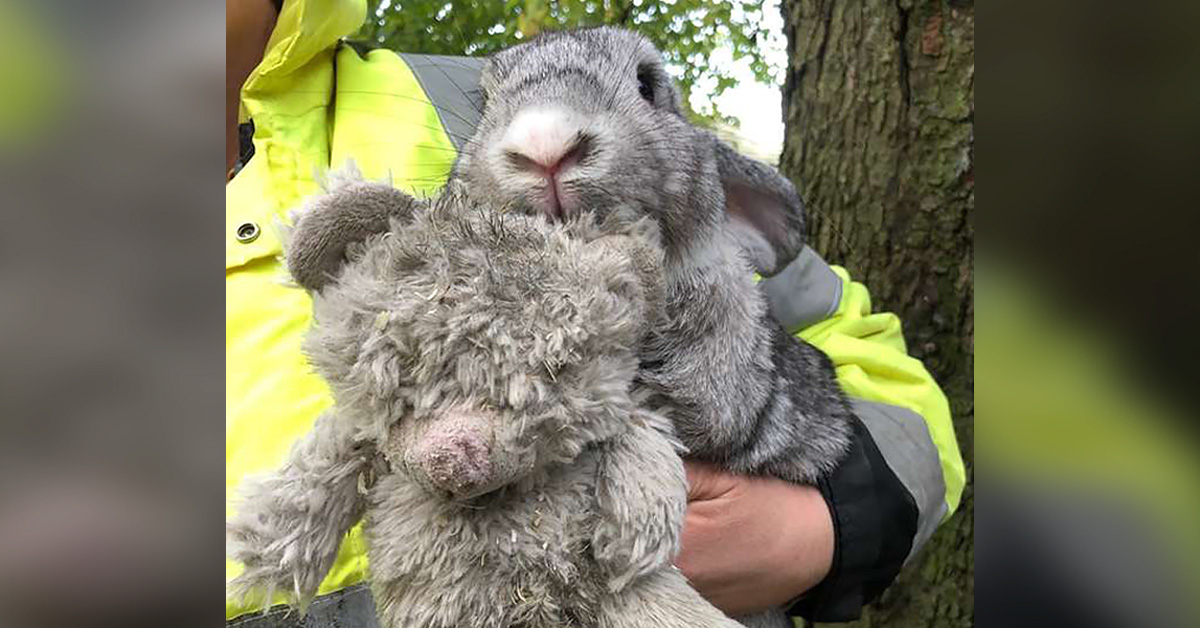 Abandoned Rabbit Found In A Box While Clinging To His Favorite Teddy Bear