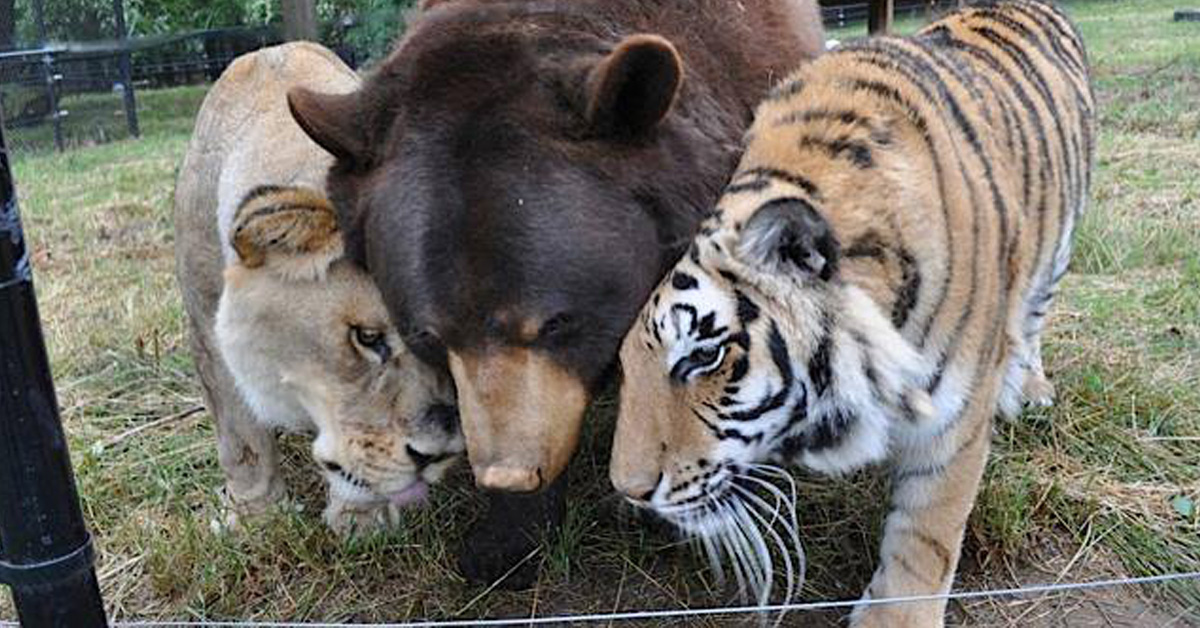 Lion, Tiger And Bear Were Rescued As Cubs And Became Best Friends For Life