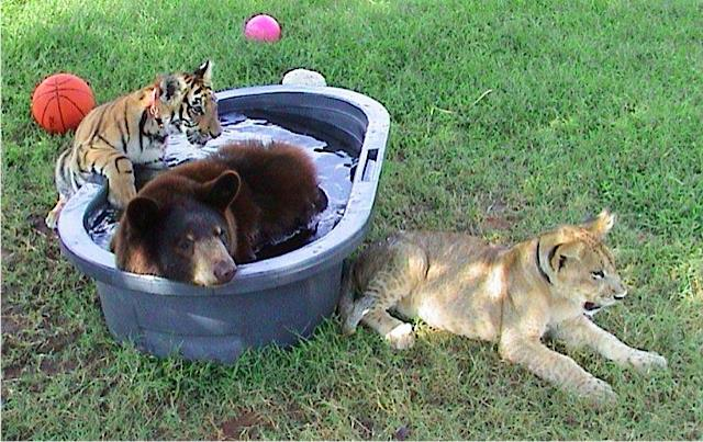 Lion, Tiger And Bear Became Best Friends For Life