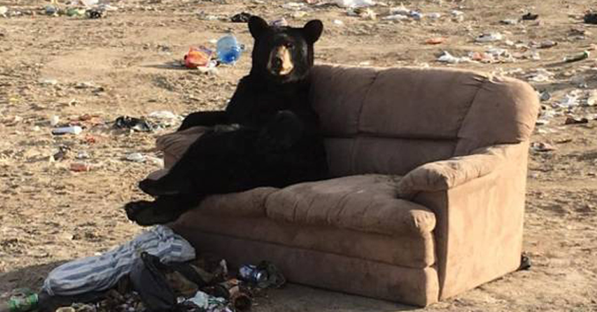 Bear Caught Relaxing 'Just Like A Human' On A Couch Someone Threw Away