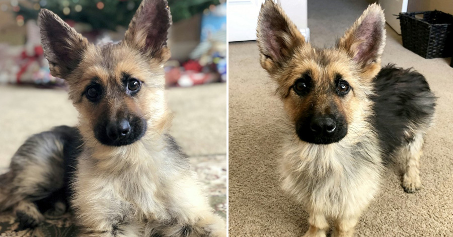 Meet Ranger, The Tiny German Shepherd With Dwarfism That Will Look Like A Puppy Forever
