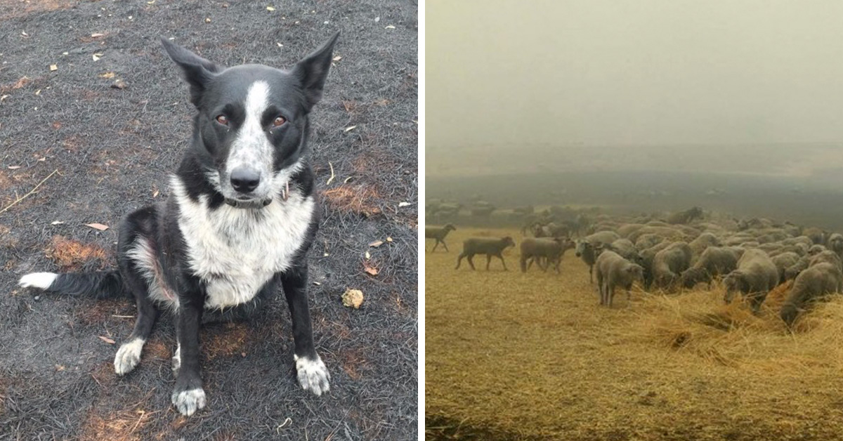 Border Collie Saves Entire Flock Of Sheep From Australia Wildfire