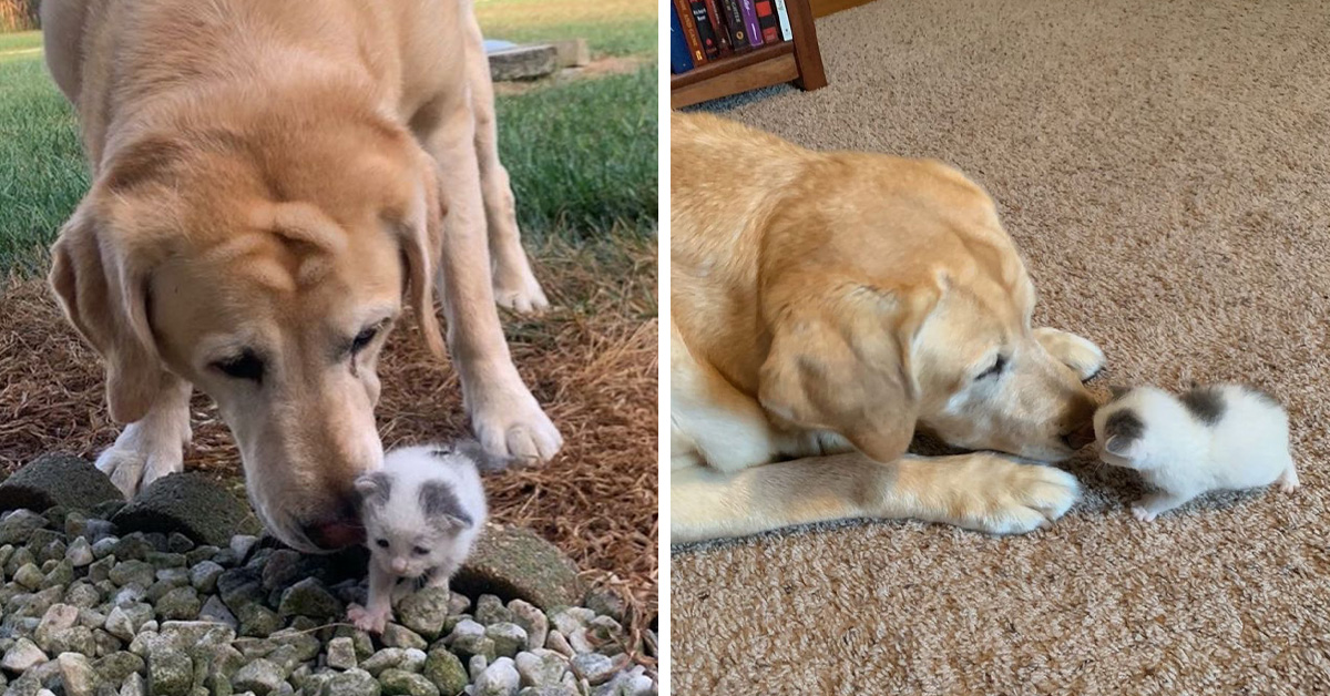 Dog Finds Tiny Orphaned Kitten In His Garden, And Now They Do Everything Together