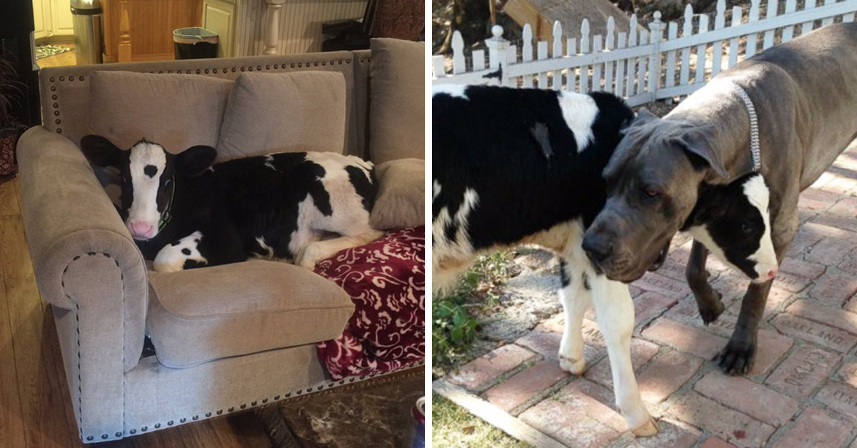 Meet Goliath, The Adorable Baby Cow Raised With 3 Dogs Who Thinks He's A Dog Too