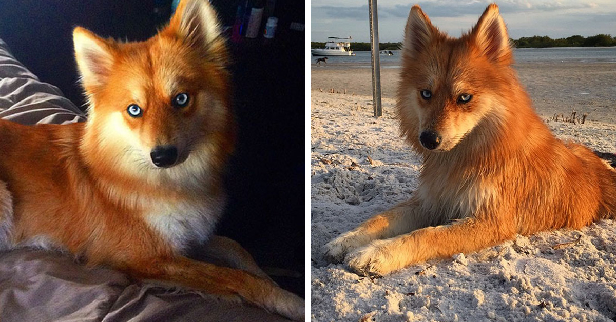 Meet Mya, The Pomeranian-Husky Mix That Looks Just Like A Little Fox