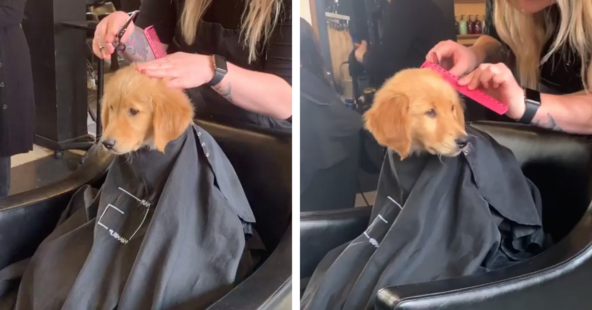 Good Boy Goes To Hair Salon With His Mom And Sits For A Haircut Just Like A Human