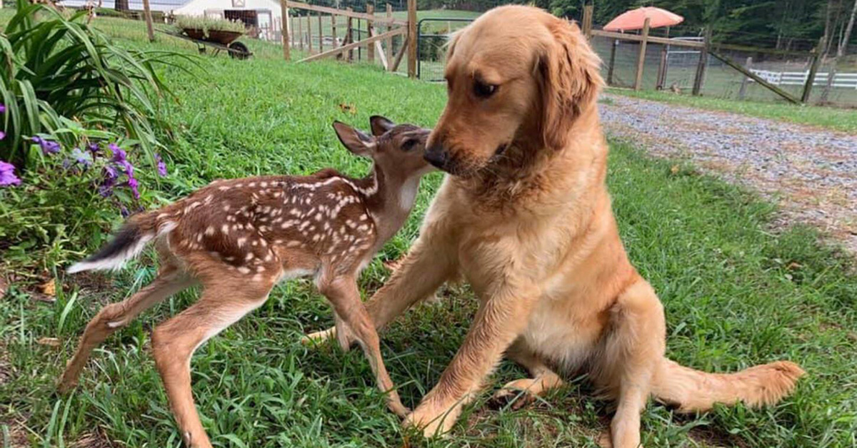 Puzzled Golden Retriever Puppy Befriends Fawn, And Their Photo Goes Viral