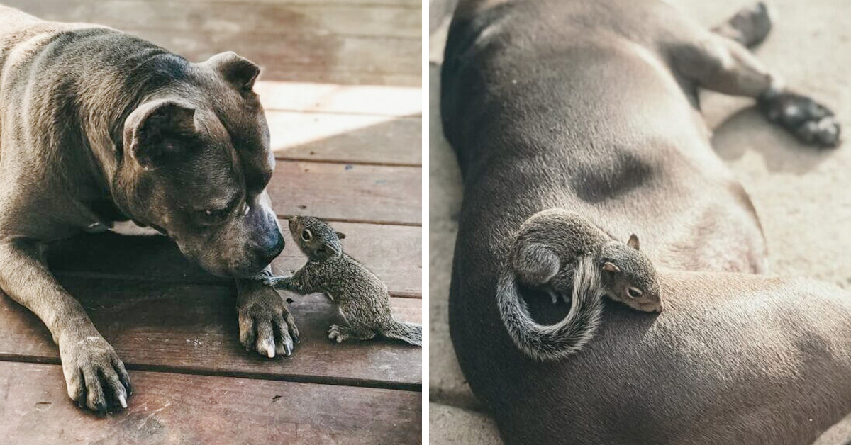 Orphaned Squirrel Meets Motherly Pit Bull And Claims Her As His Own Mom