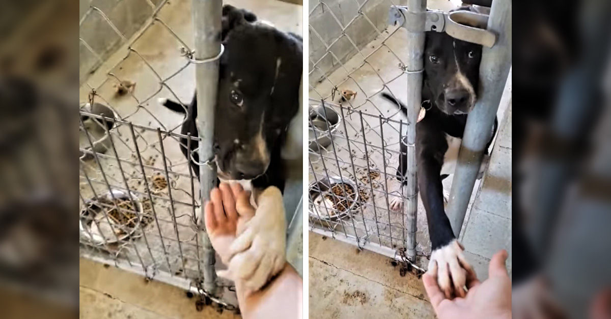 Shelter Dog Desperate For Adoption Tries To Hold Hands With Everyone Passing By His Kennel