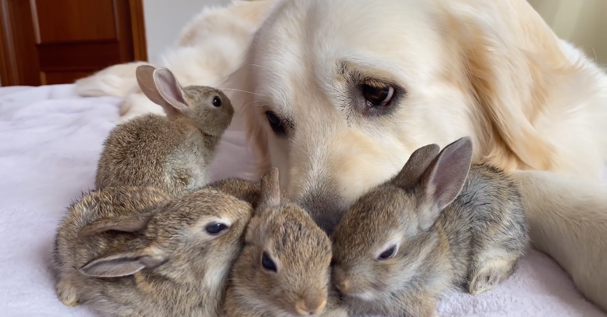 These 4 Baby Bunnies Think This Golden Retriever Is Their Dad And Snuggle With Him All Day