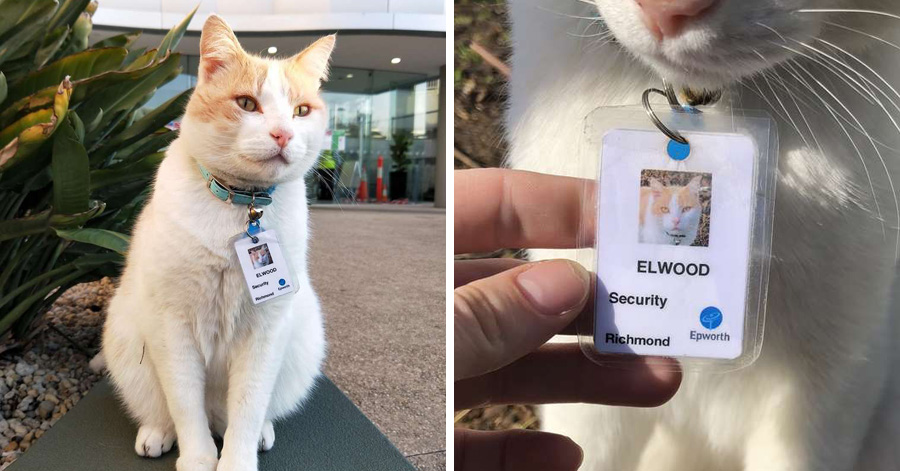 Cat Visits Hospital Every Day, Gets 'Hired' By Security And Gets His Own Badge