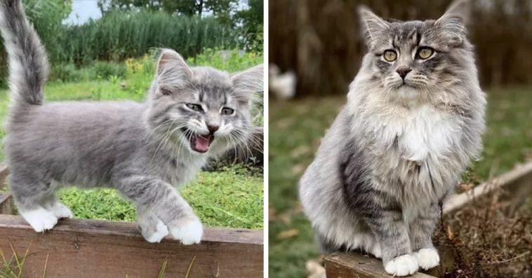 15 Fluffy Kittens Who Grew Up To Become Majestic Floofs